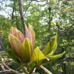 Eneste magnoliatreet i verden med disse vakre fargene. Et frøekte eksemplar i havlyst-hagen på Ramme gård.